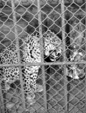 jaguar-zoo-santaclara